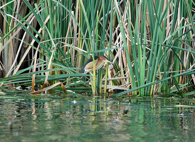 Black-backed Bittern - Karkarook Park, Vic