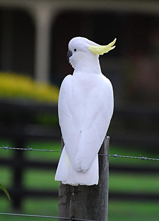 Suplhur-crested Cockatoo