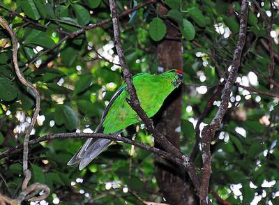 Tasman Parakeet