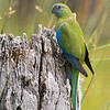 [Female] Turquoise Parrot