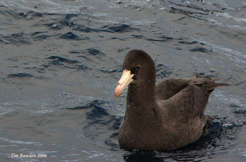 Northern Giant Petrel<br /> <br /> Port Fairy - Victoria