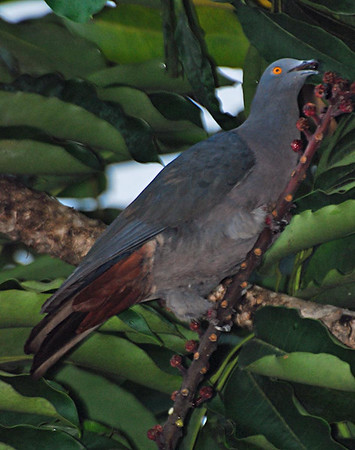 Christmas Island Imperial-pigeon