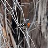 Scarlet Robin - Fraser NP, Vic
