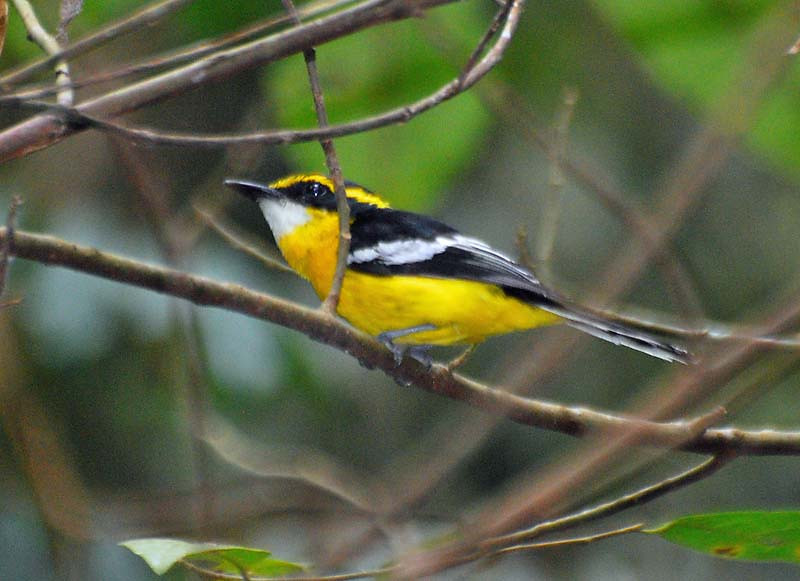 Yellow-breasted Boatbill - Mount Lewis - QLD