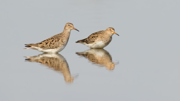 Pectoral Sandpipers