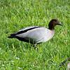 Australian Wood Duck - Karkarook Park, Vic