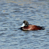 Blue-billed Duck - Karkarook Park, Vic