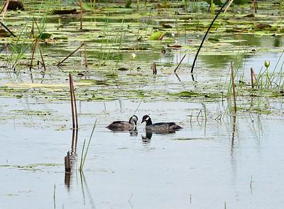 Green Pygmy Goose
