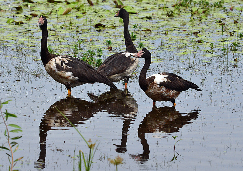 Magpie Goose - Kakadu, NT