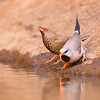 Long-tailed Finch & Painted Finch