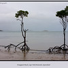 No blue water or skies today only dull clouds and rain.  These are Stilt-rooted Mangroves on Frangipani Beach, Cape York Peninsular, Queensland, Australia. <br /> <br /> Photographed June 2010 - © Lesley Bray Photography