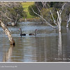 Black Swans, <i>Cygnus atratus</i>, at Lake Towerrining, Western Australia.  Photographed October 2011 - © Lesley Bray Photography - All Rights Reserved