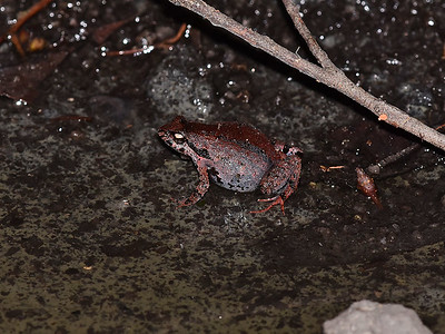 Geocrinia - froglets