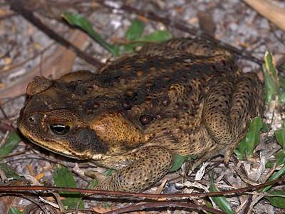 Rhinella - toads