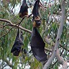 Grey-headed Flying-fox - Yarra Bend, Vic