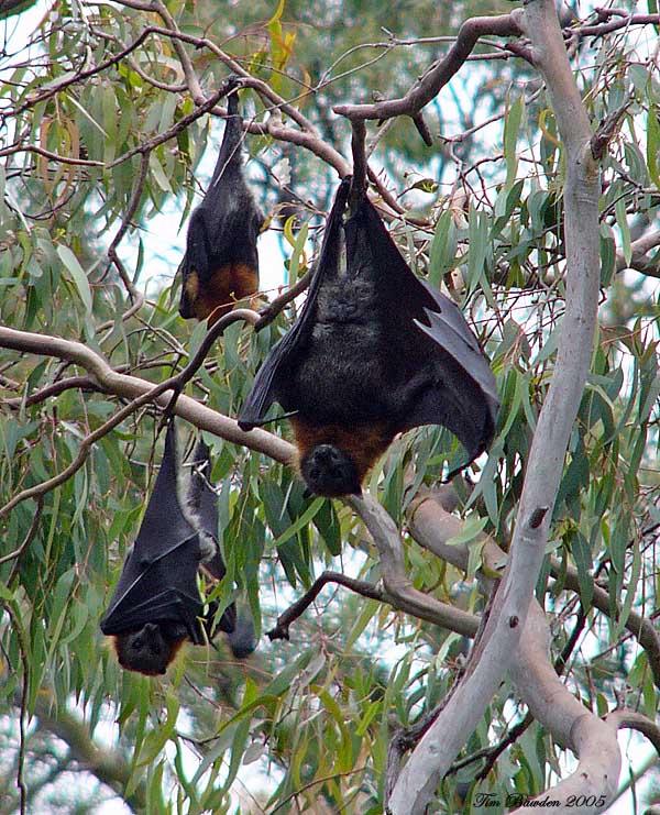 Grey-headed Flying-fox - Yarra Bend, Vic