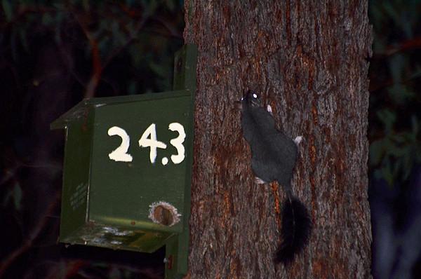 Brush-tailed Phascogale