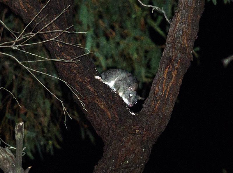 Brush-tailed Phascogale - Rushworth, Vic