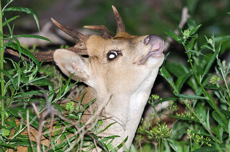 Hog Deer - Wilsons Prom, Vic