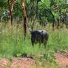 Water Buffalo - Kakadu, NT