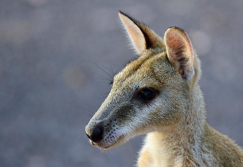 Agile Wallaby - Nitmiluk NP, NT
