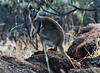 Black-footed Rock-Wallaby - Telegraph Station, Alice Springs, NT