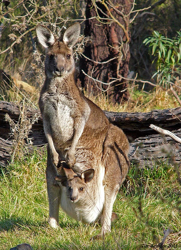 Eastern Grey Kangaroo - Churchill NP - Vic