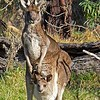 Eastern Grey Kangaroo - Churchill NP - Vic