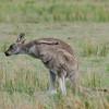 Eastern Grey Kangaroo - Wilsons Prom, Vic