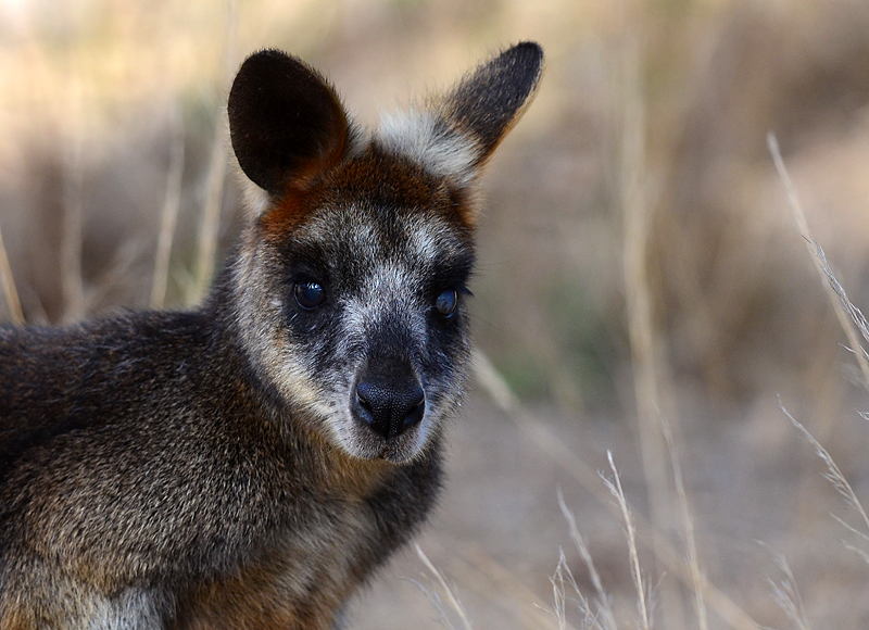 Swamp Wallaby - You Yangs, Vic