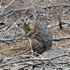 Tammar Wallaby - Kangaroo Island, SA