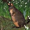 Tasmanian Pademelon - Eaglehawk Neck, Tas