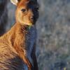 Western Grey Kangaroo - Kangaroo Island, SA