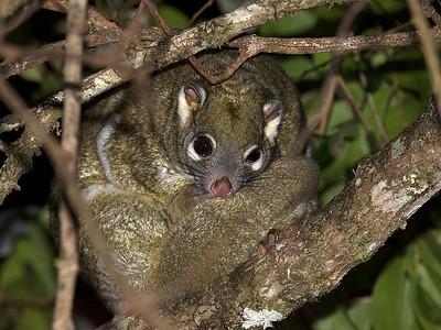 Green Ring-tailed Possum