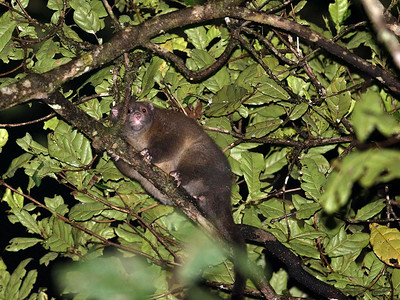 Lemuroid Ring-tailed Possum