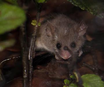 Little Pygmy-possum