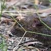 Swamp Rat - Bunyip State Park, Vic