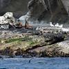 Australian Fur Seal - Lawrence Rocks, Vic