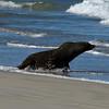 Australian Fur Seal - Discovery Bay, Vic