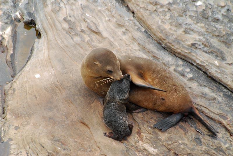 New Zealand Fur-seal - Kangaroo Island - SA