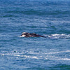 Southern Right Whale - Warrnambool, Vic