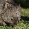Common Wombat - Wilsons Prom, Vic