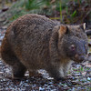 Common Wombat - Bunyip SP, Vic