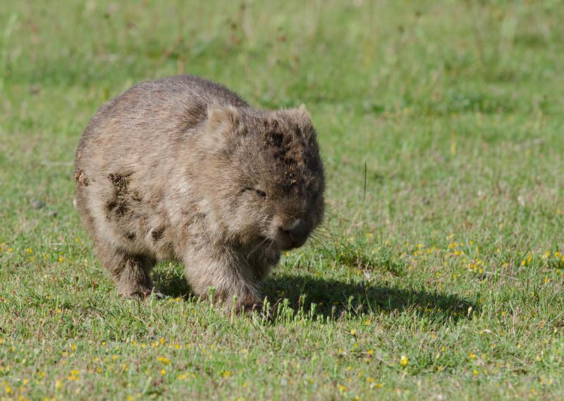 Common Wombat - Wilsons Prom, Vic