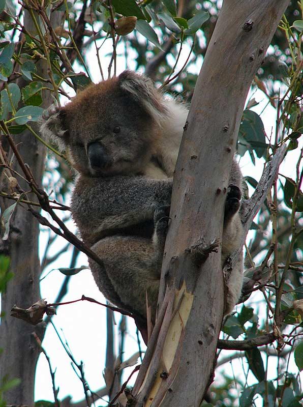 Koala - Great Ocean Road, Vic