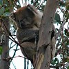 Koala - Great Ocean Road, Vic