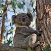 Koala - Bunyip State Park, Vic