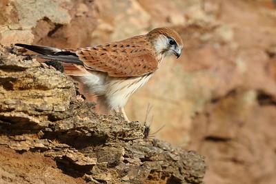 Nankeen Kestrel (Falco cenchroides) adult female hunting