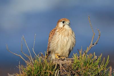 Australian Kestrel (Falco cenchroides) juvenile