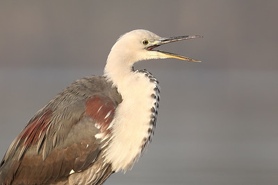 White-Necked Heron (Ardea pacifica) adult